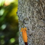 Radermachera ignea Indian Cork Tree