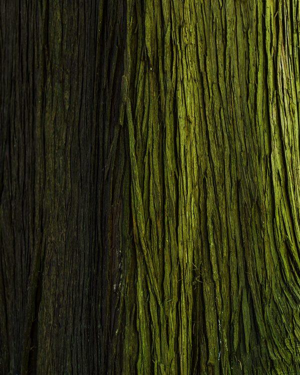 Redwoods California Mossy Tree