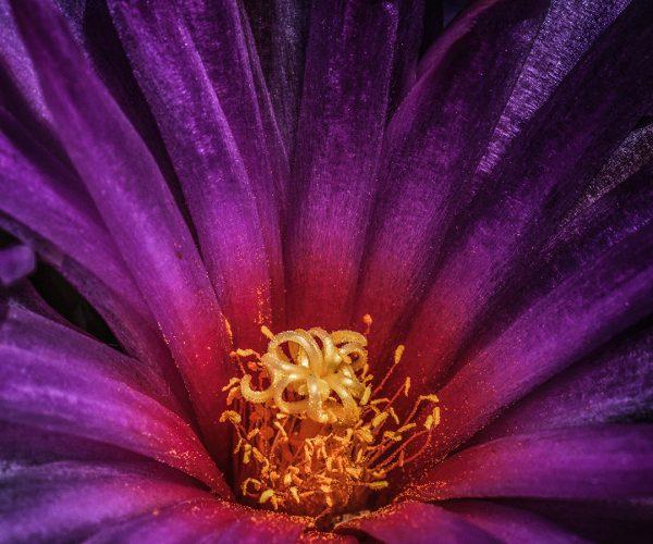 Cactus flower pink orange