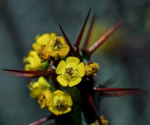 Cactus flower yellow opuntia