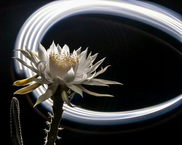 Cereus Light Painting