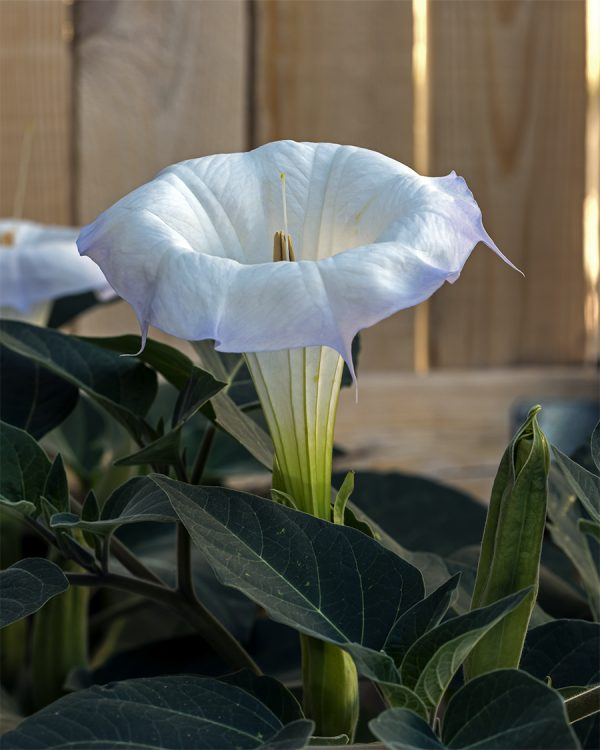 sacred datura thornapple jimsonweed