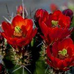 Echinopsis coccineus cactus flower Echinocereus polyacanthus