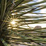 Joshua Tree Sunset starburst