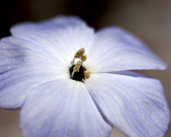 Linum lewisii flax purple flower