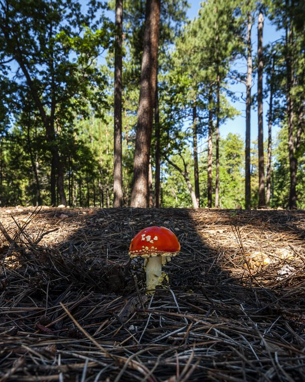 Mogollon Mushroom