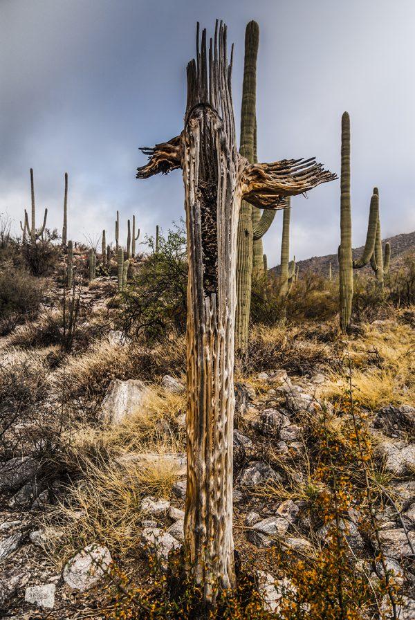 Saguaro Ribs