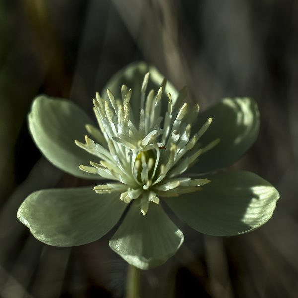 Thalictrum thalictroides Rue anemone white flower